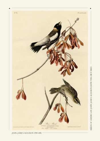 Fin og enkel museumsplakat af John James Audubon. Her ses to fugle siddende på to grene