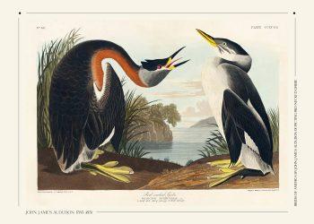 Red necked grebe birds af john james audubon