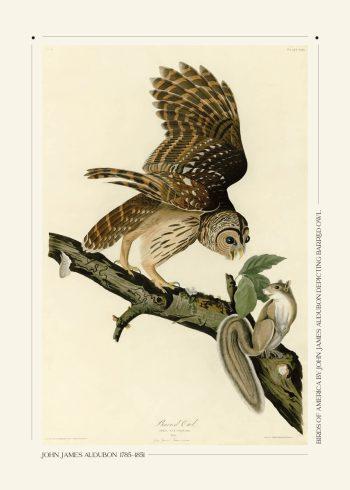 Barred owl plakat af John James Audubon - her ses en ugle og et egern