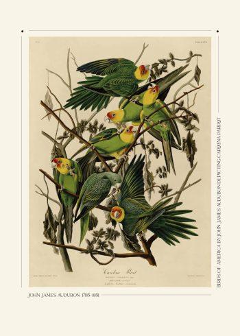 carolina parrot plakat af John James Audubon