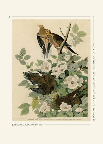 carolina turtle dove plakat. Fineste plakat med grene blomster og 4 fugle der sidder og kvidre løs