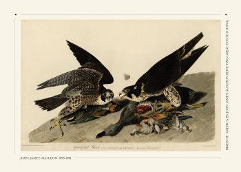 great footed hawks plakat