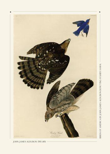 Standley hawk af John James Audubon plakat med 3 flotte fugle